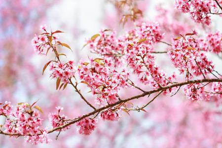 Wild Himalayan Cherry Blossoms in spring season (Prunus cerasoides), Sakura in Thailand, selective focus, Phu Lom Lo, Loei, Thailand.