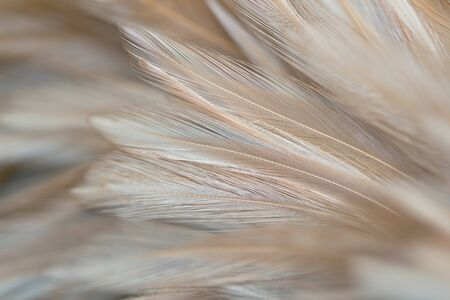 Fluffy chicken feathers in soft style for background, Postcard, wallpaper and art design Banque d'images