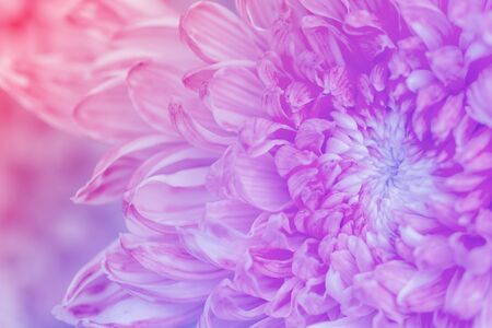 Chrysanthemum flowers in soft pastel color and blur style for background Stock Photo