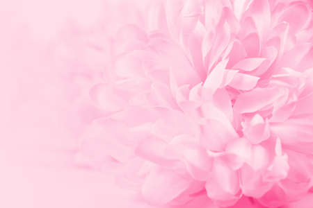 Beautiful pink chrysanthemum flowers in soft style for background Imagens