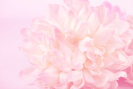 Chrysanthemum flowers in soft pastel color and blur style for background 免版税图像