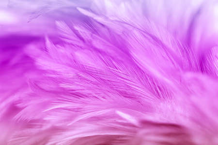 Purple chicken feathers in soft and blur style Imagens