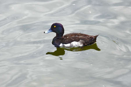 scaup: Diving duck (Greater Scaup or Bluebill) Stock Photo