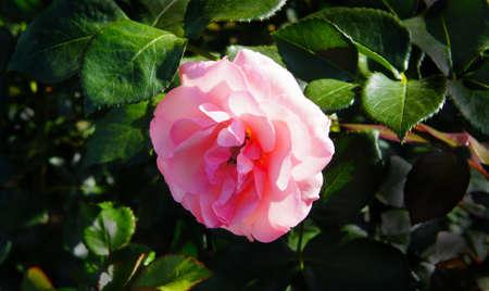 english rose: Garden English rose Stock Photo