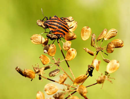 graphosoma: Red-striped shield bug  Graphosoma lineatum  on dry hogweed Stock Photo