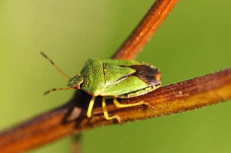 green shield bug: The green shield bug  Palomena prasina  on the stem