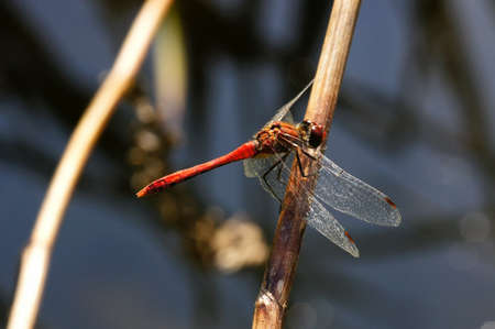 darter: Red dragonfly  Red-veined Darter  Stock Photo