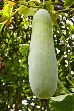 perishable: gourd