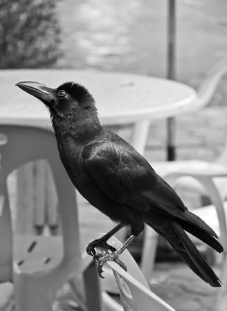 crow B&W photo