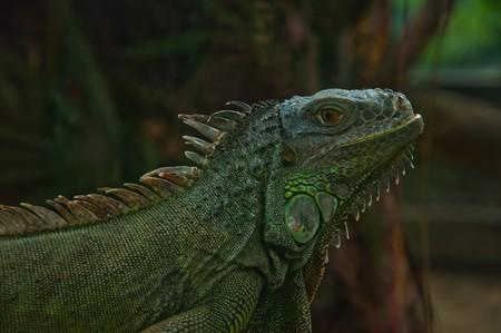 iguana Stock Photo - 8011943