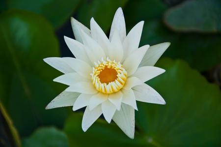 lotus Stock Photo - 8280870