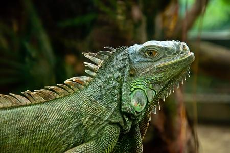 iguana Stock Photo - 9001092