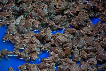 frog for sale photo