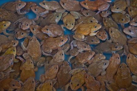 frog for sale Stock Photo - 12816497