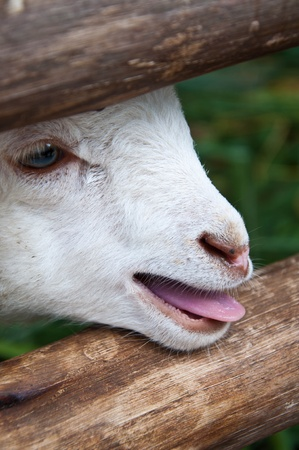 sheep baby in corral Stock Photo
