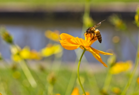 ox eye: big bee on flower