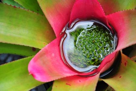vriesea: l'interno di un Vriesea