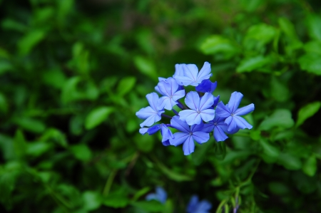 Cape Leadwort photo