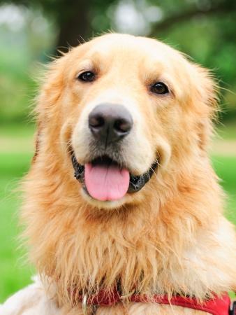 domesticated: golden retriever face