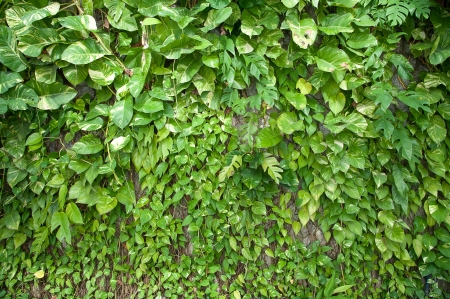 herbaceous  plant: Devil s Ivy on wall
