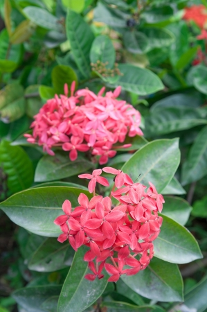 Small Bunch of Red Ixora Flower with Green Leaves photo