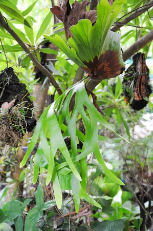 Staghorn Fern Stock Photo - 15950095
