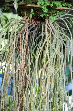 Phyllodium pulchellum herb fern  Stock Photo - 15947611