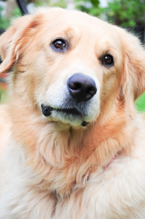 curiously: A golden retriever with head turned sideways curiously curious dog what  Stock Photo