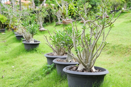 Impala Lily Adenium Tree with pot in garden Stock Photo - 16167996