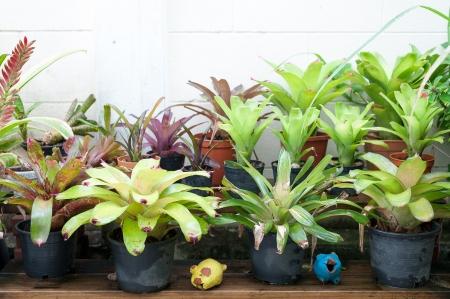 Vriesea pineapple in basket photo