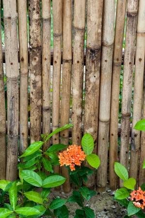 nge Ixora coccinea with bamboo fence photo