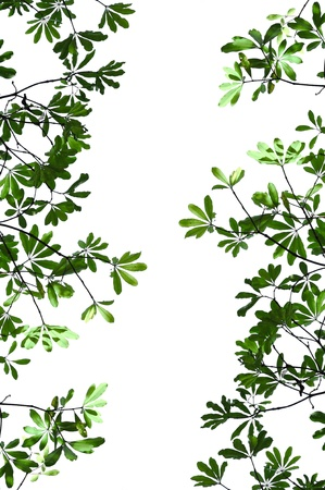 Alstonia scholaris leaf isolated on white