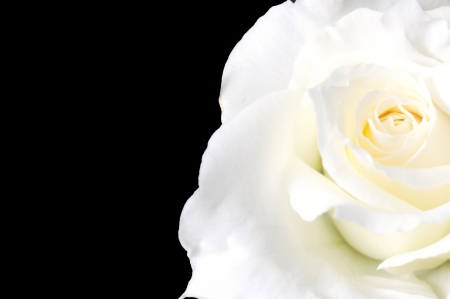 close up white rose isolated on black background  Stock Photo - 16379022