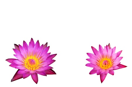 pink lotus flower on white background photo