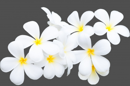 white and yellow frangipani flowers on gray background photo