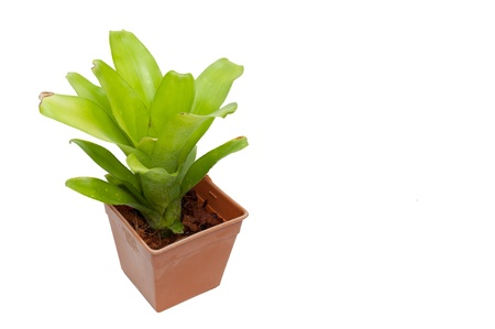 Bromeliad in plastic pot isolated on white background photo