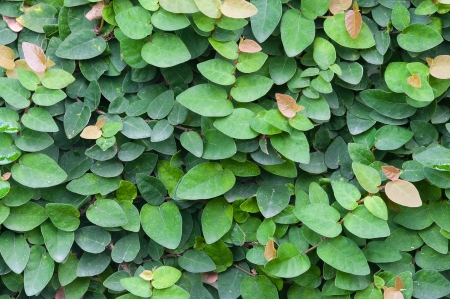 Ficus pumila on wall Stock Photo