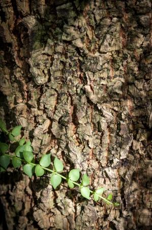 Tree bark texture with creeper, dischidia on tree Stock Photo - 16461553