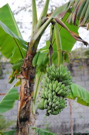 green banana on tree photo