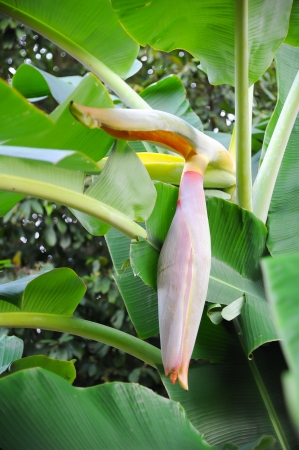 green banana on tree, banana flower photo