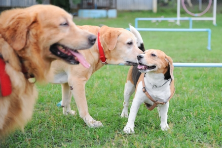 tree dog play together, golden retriever, Labrador retriever and beagle photo