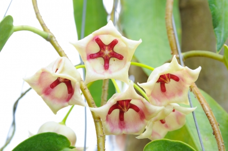 red and cream Hoya flowers,Hoya Archboldiana photo