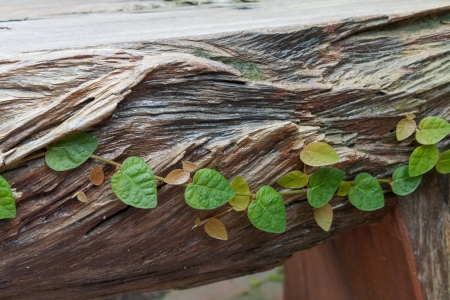 ficus: Ficus pumila on wooden