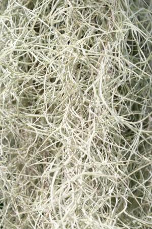 Spanish Moss texture Stock Photo - 16623651