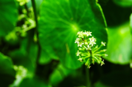 macro of Asiatic Pennywort photo