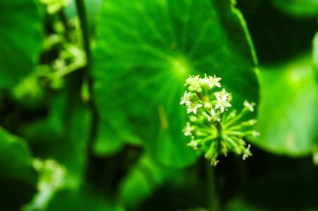 macro of Asiatic Pennywort Stock Photo