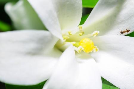 jessamine: macro di fiore bianco, arancio, gelsomino