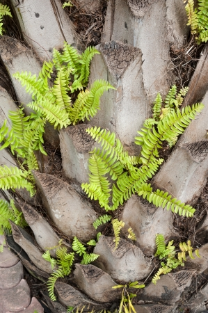 green fern growing on palm tree Stock Photo - 16974576