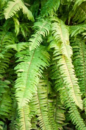 polypodiopsida: fresh green fern leaves