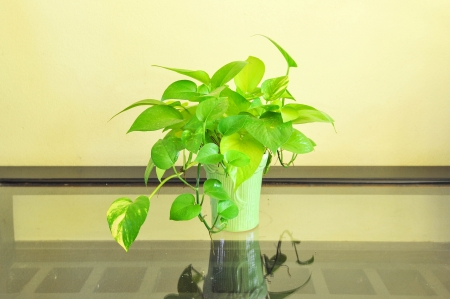Devil s ivy decorated on glass table